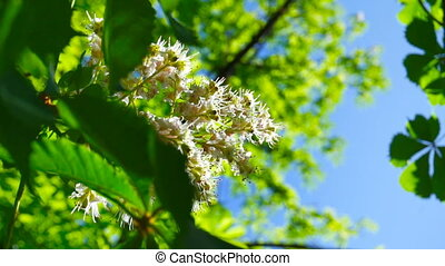 Fresh young green chestnut bloom bright sun light, close up...