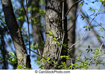 Fresh young leaves in the spring forest on a sunny day