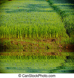 Young rice in field