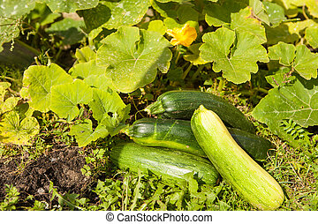 fresh zucchini in the garden