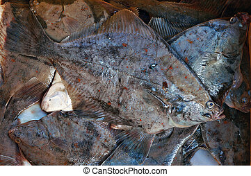Freshly caught fish - flounder. - Freshly caught fish - ...