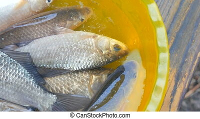 Freshly caught live freshwater river fish in a plastic yellow bowl.