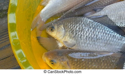 Freshly caught live freshwater river fish in a plastic ...