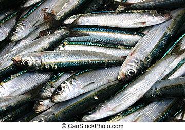 Sardines - Freshly Caught Sardines