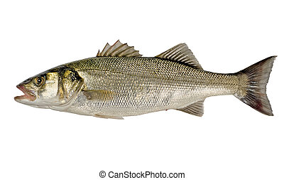 Freshly Caught Sea Bass (Dicentrarchus labrax) Isolated on White Background