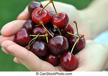 Freshly cherries - Women hands full of freshly sweet...