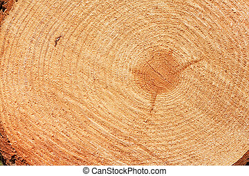 freshly cut fir tree rings - Growth rings on freshly cut fir...
