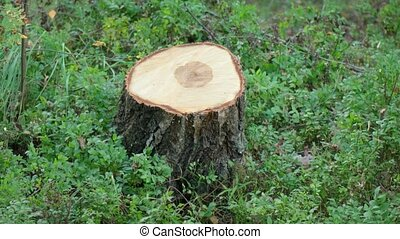 Freshly Cut Stump of a Birch Tree. 1080p DCI footage -...