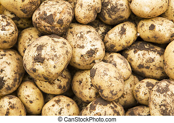 Freshly-dug new potatoes - Crop of freshly-dug new potatoes