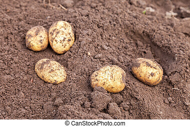 Freshly dug organic potatoes on the field in sunny day