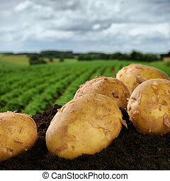 Freshly dug potatoes on a field - Freshly dug potatoes on a...