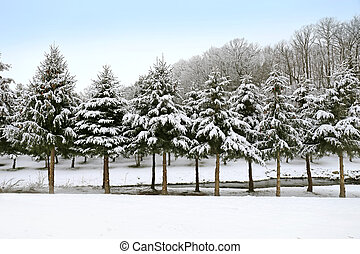 Freshly Fallen Snow Coviering Branches of Row of Pine Trees