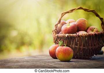 Freshly harvested apples - Fresh harvest of apples. Nature...