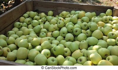 Freshly harvested green apples in big wooden crate in ...