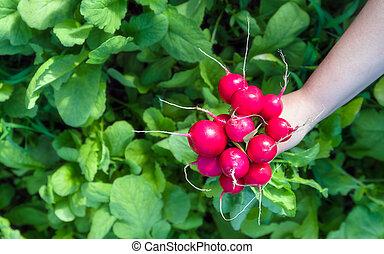 Freshly harvested home grown radish. Growing organic vegetables.