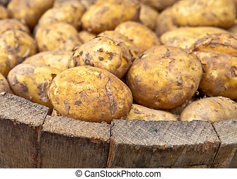 Freshly harvested potatoes in a wooden bucket
