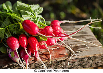 Freshly harvested, purple colorful radish.