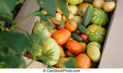 Freshly harvested tomatoes and cucumbers in a box in greenhouse. Top of view