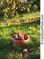 Freshly picked apples in the orchard in Autumn