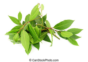 Freshly Picked Bay Leaves - Bunch of freshly picked aromatic...