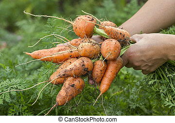 Freshly picked carrots.