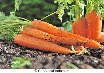 freshly picked carrots in the garden soil