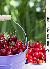 Freshly picked Cherries - A metal bucket and a white enamel...