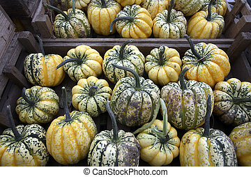 Freshly picked crop of Squash on a farm in Yorkshire in the...