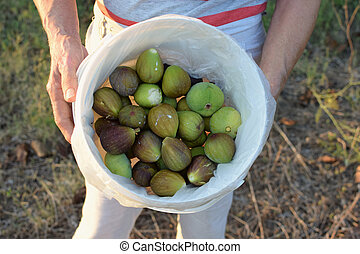 freshly picked figs - Hands holding bucket of ripe figs....