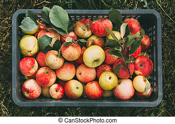 Freshly picked organic apples in a box