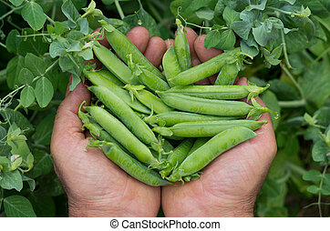 freshly picked peas