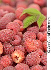 Freshly picked raspberries - Close-up of freshly picked...