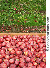 Freshly picked red apples in a wooden box