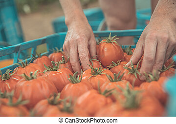 freshly picked red tomatoes in a crate