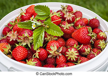 Freshly picked garden strawberries in bucket outside, closeup