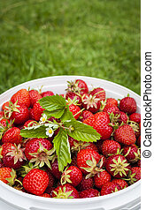 Freshly picked strawberries in bucket outside on green grass...