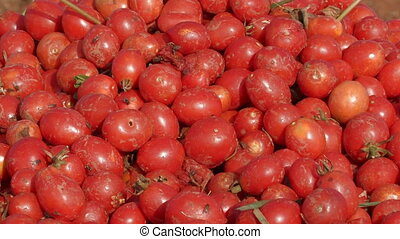 Freshly picked tomatoes