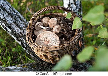 Freshly picked wild mushrooms from the local forest. Delicious organic edible mushrooms in a wicker basket on a green grass between birch trunks. Macrolepiota procera, the parasol mushroom