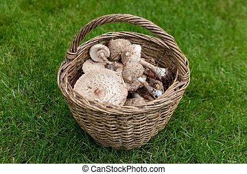 Freshly picked wild mushrooms from the local forest. Edible mushrooms in a wicker basket on a green grass. Delicious organic mushrooms for cooking. Macrolepiota procera, the parasol mushroom