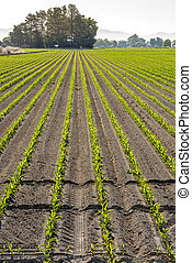 Freshly planted young corn in rows