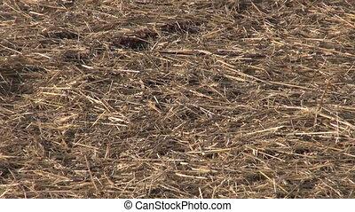 Freshly plowed field with hay - Freshly plowed field...
