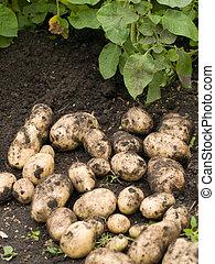 Freshly potatoes - freshly potatoes lying on the damp ground