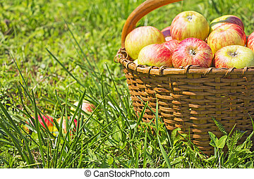 Freshly red apples in the wooden basket on green grass