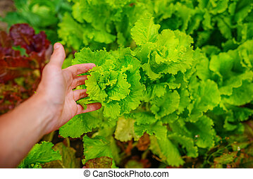 Freshly salad in the hands of the farmer, picking fresh salad from vegetable garden