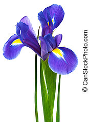 freshness purple iris on a white background