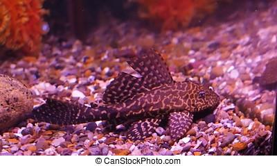 Freshwater aquarium. Catfish with cichlids.