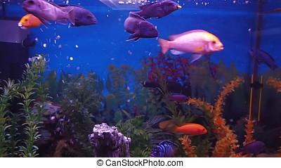 Freshwater aquarium fish. A cichlid aquarium.
