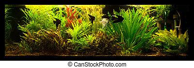 Freshwater aquarium with fish pterophyllum scalare - A green...
