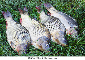 freshwater carp on the grass