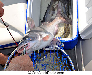 Freshwater catfish caught by fisherman